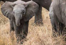 Elephants in Zululand, a traditional region in KwaZulu-Natal province, South Africa.