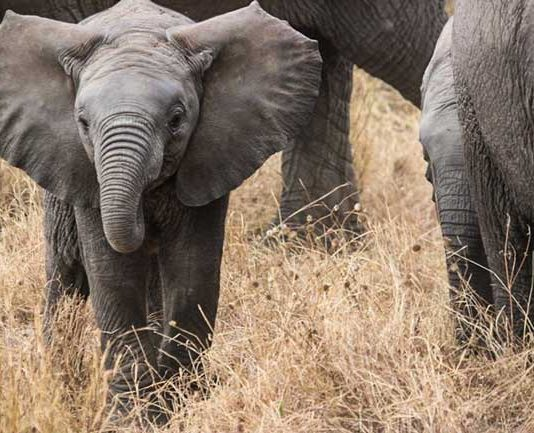 Elephants in Zululand, a traditional region in KwaZulu-Natal province, South Africa.
