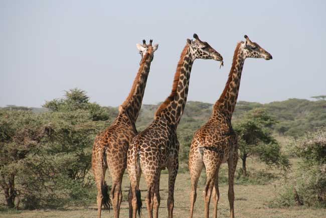 Giraffes in Zululand. KwaZulu-Natal