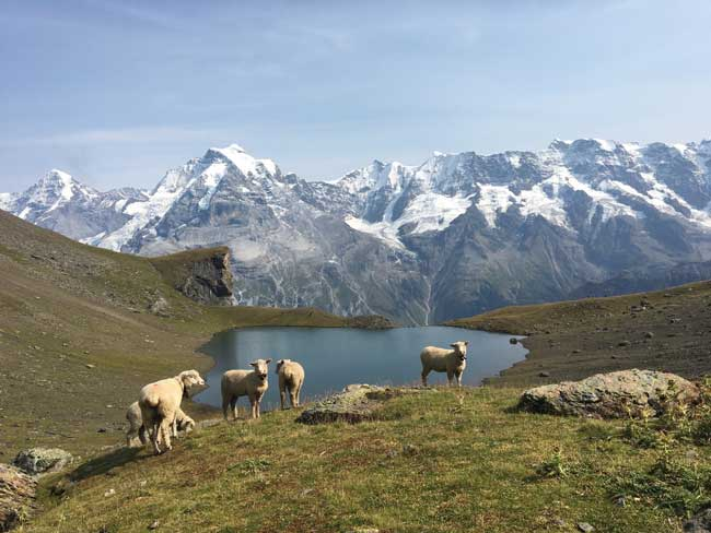 Admiring sheep on the way to Schilthorn summit.