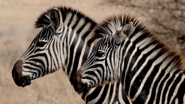 Zebra in Zululand