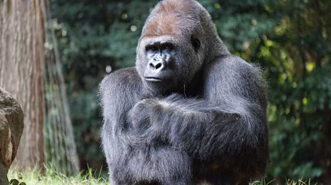 Rwanda is home to the majestic gorilla
