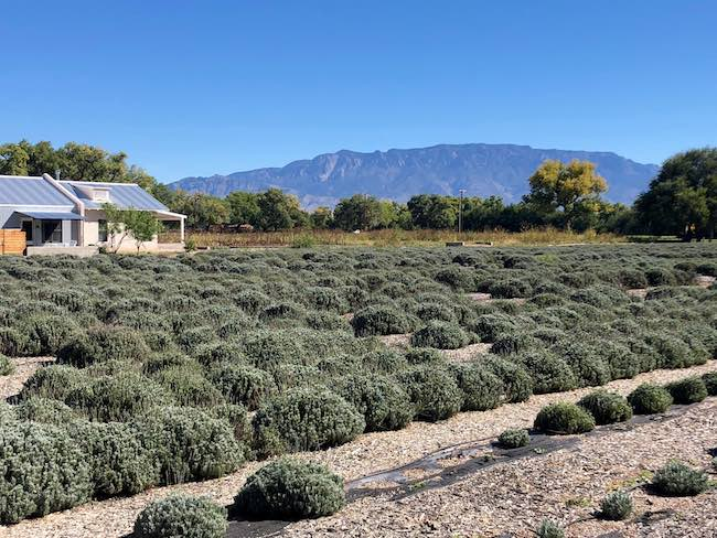 Lavender fields at Los Poblanos with Sandia Mountains in background. Photo by Claudia Carbone