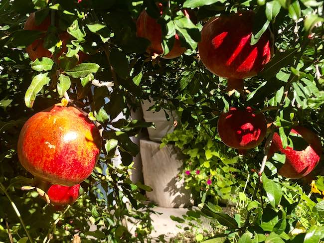 Pomegranates as big as your fist. Photo by Claudia Carbone