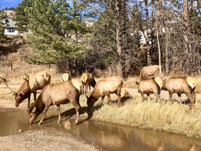 A common sight around Estes Park. Photo by Claudia Carbone