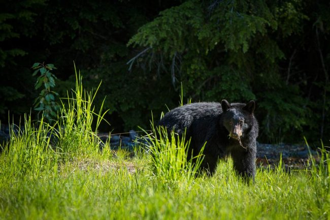 Bear viewing in Whistler, British Columbia