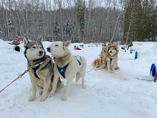 Dog sledding in Quebec. Getting ready to ride.