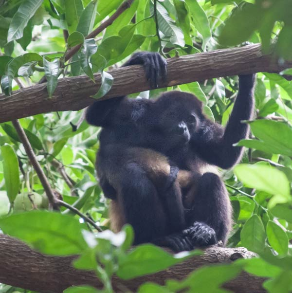 Howler monkeys, kings of the rain forest canopy, are hard to see but easy to identify; listen for their loud throaty howls. Though nine species have been identified, Costa Rica is home to just one, the common mantled howler.