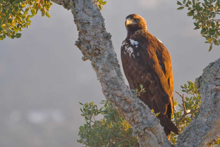A Spanish Imperial Eagle. Photo by Extremadura Tourist Board