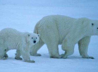 Polar Bear Viewing in Manitoba by Sharon Spence Lieb. Photo by Travel Manitoba