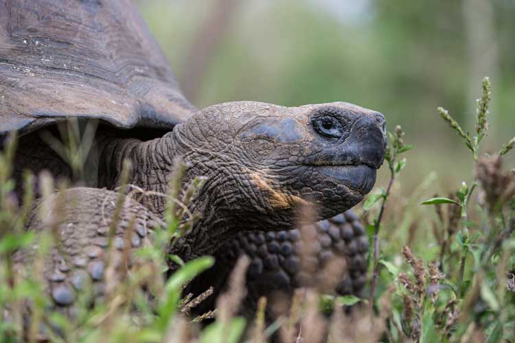 Giant Galapagos Tortoises in the Galapagos Islands