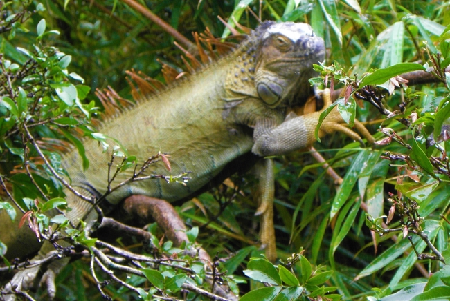 Iguanas join 125 other animal species in Costa Rica's Manuel Antonio National Park. Photo by Victor Block