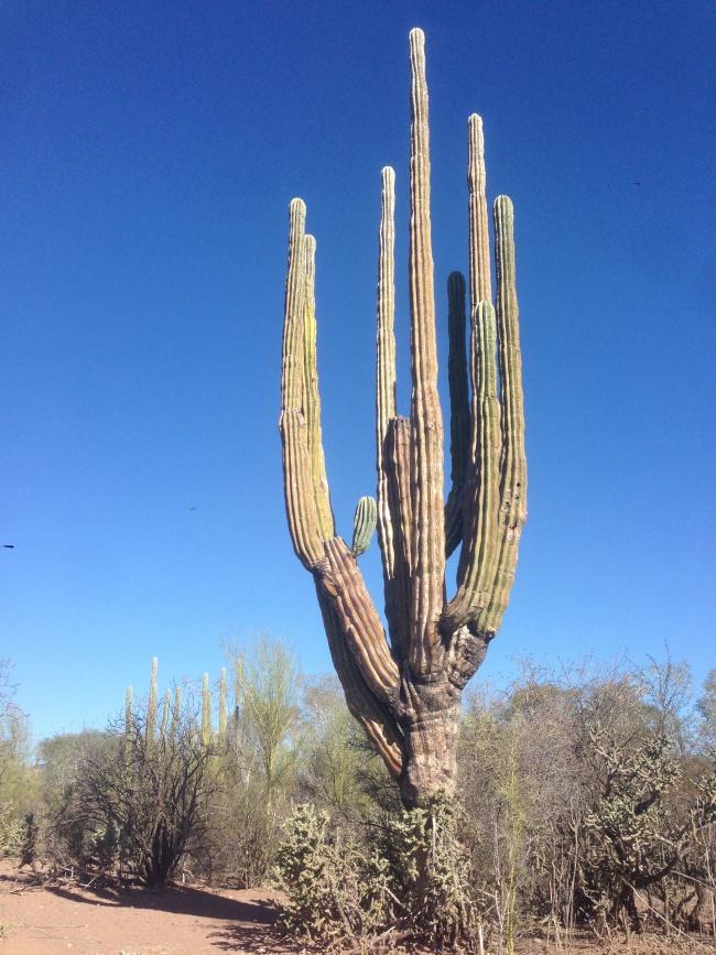 cactus tree- mulege- baja california sur- cave painting tour-road trip- canada to mexico