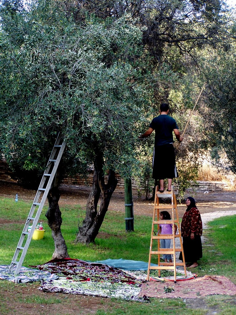 What do non-Jewish people do on Yom Kippur? A Muslim family took the opportunity to harvest some olives in a local park. Photo by Carol L. Bowman.