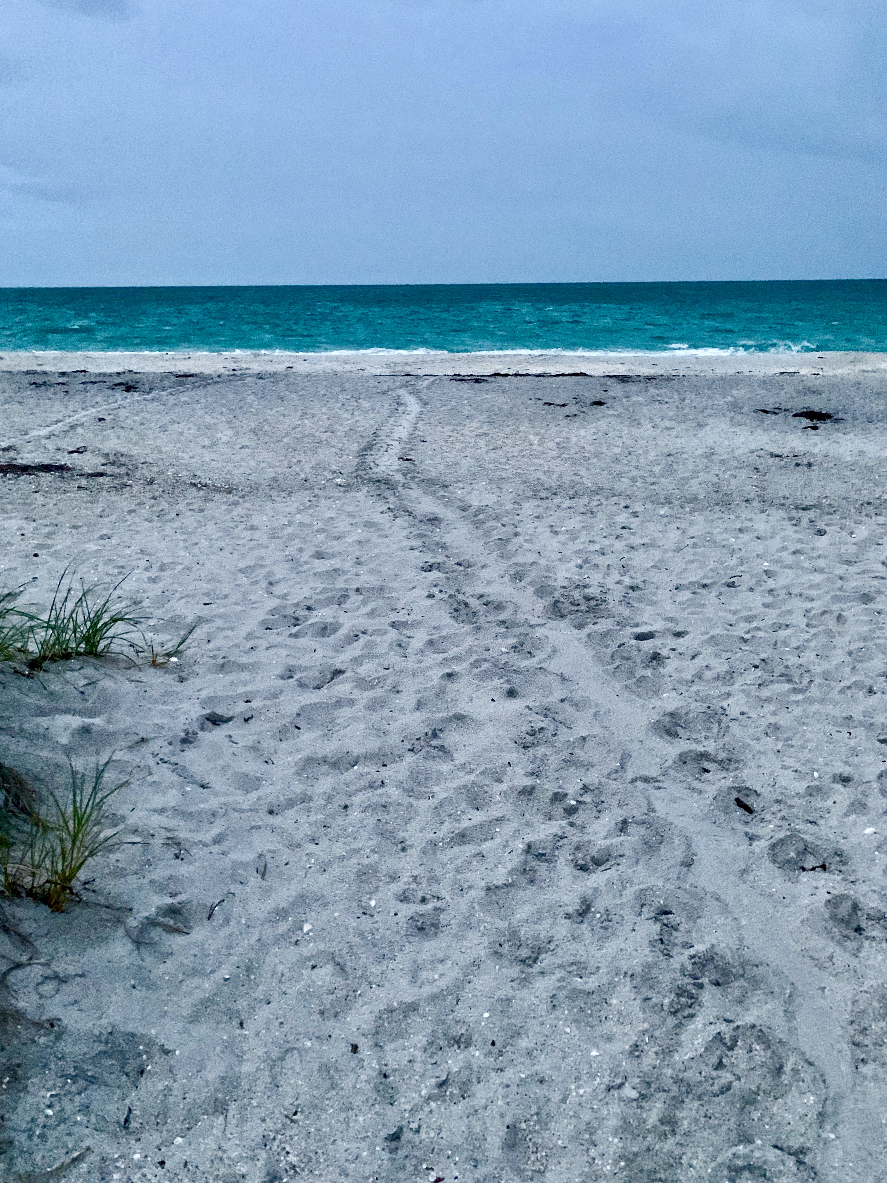 Finding turtle nesting tracks Stump Pass Beach. Photo by AY.