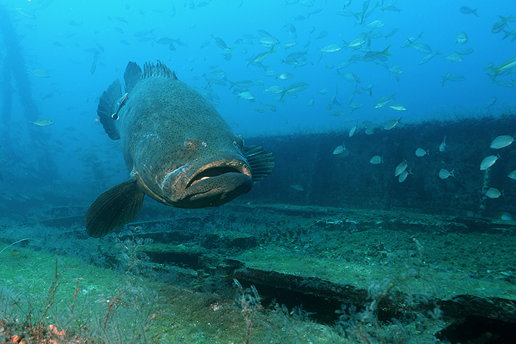 Goliath-Grouper-Photo-by-Lee-County.
