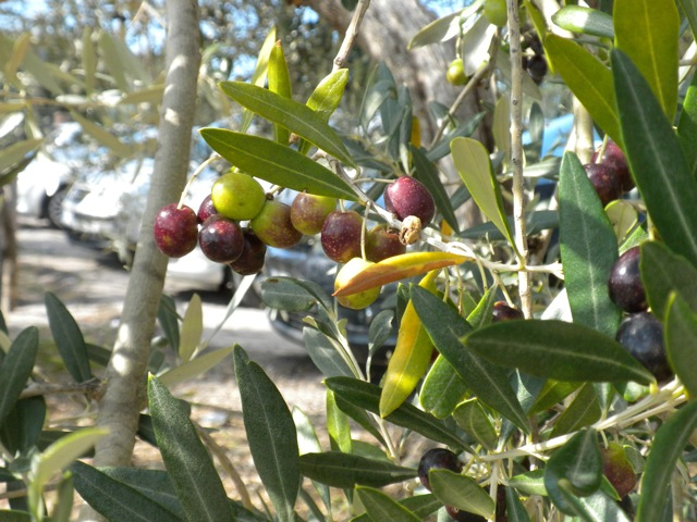 Olive Plant. Photo by Janna Graber.