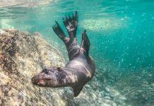 Playful sea lion in Peru