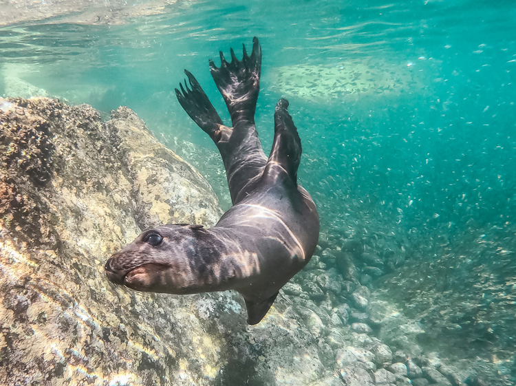 Playful sea lion in Peru