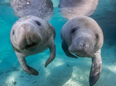 Visitors can swim with manatees only in Citrus County Florida