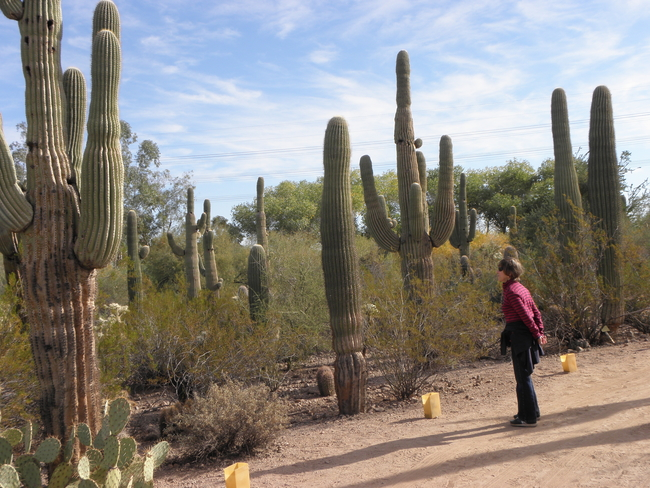 Saguaro Cactus Thrive in the Sonoran Desert around Scottsdale, Arizona, by Victor Block