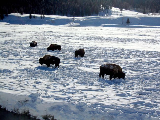 Bison foraging for grass in the deep snow. Photo by Claudia Carbone