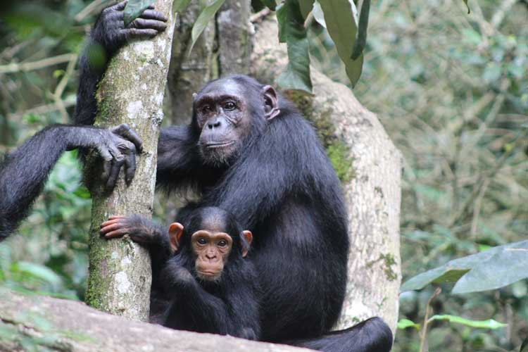 Chimpanzee trek with Kagera Safaris