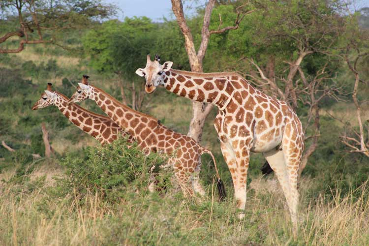 Giraffes are one of the many animals you can see on safari with Kagera Safaris