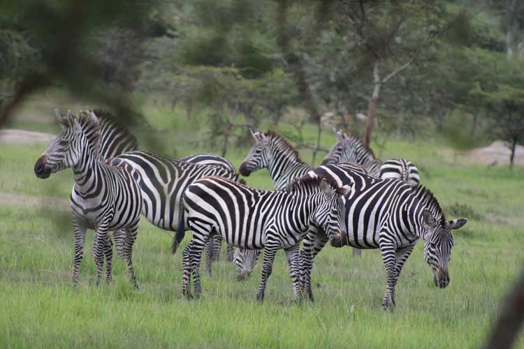 Zebras on safari