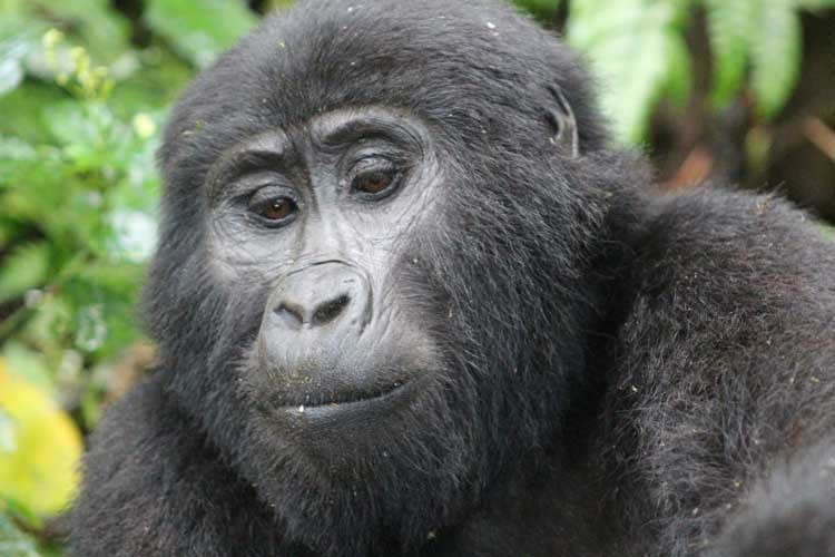 Gorilla trekking with Kagera Safaris