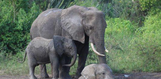 Kagera Safaris Leads Gorilla Trekking and Wildlife Safaris in East Africa