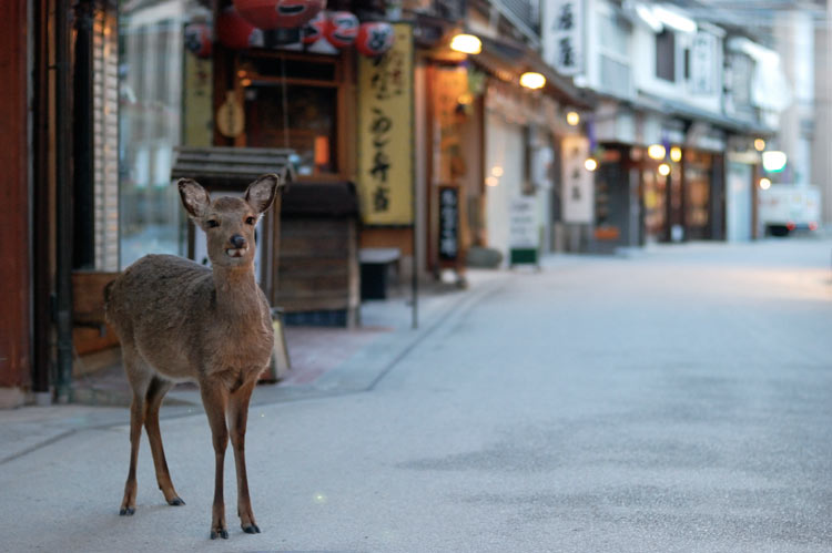 Wild Deer in the streets of Itsukushima