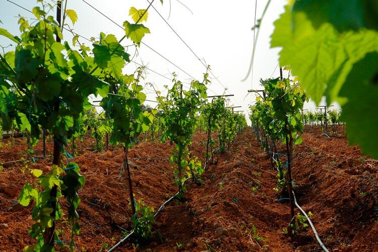 vineyard-tours at JR Wines