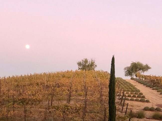Allegretto vineyard at dusk. Photo by Claudia Carbone