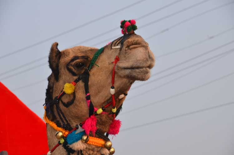 Camel with nose ornament