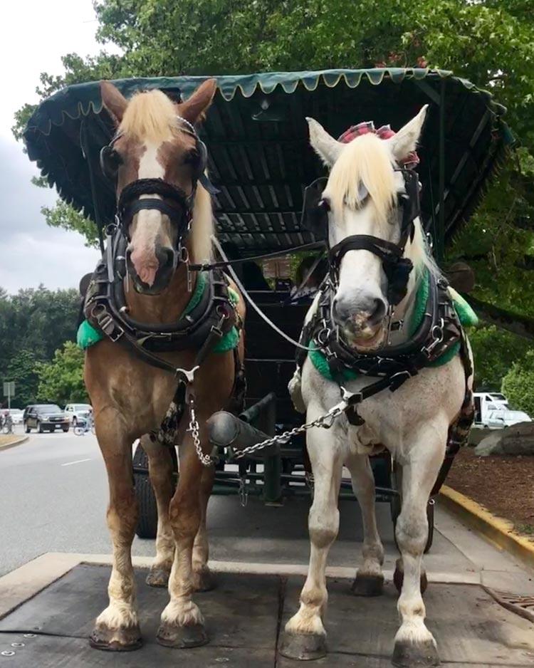 Percheron horses