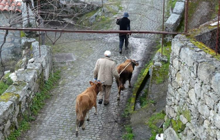 Each morningand evening farmers walk their stock along the main street