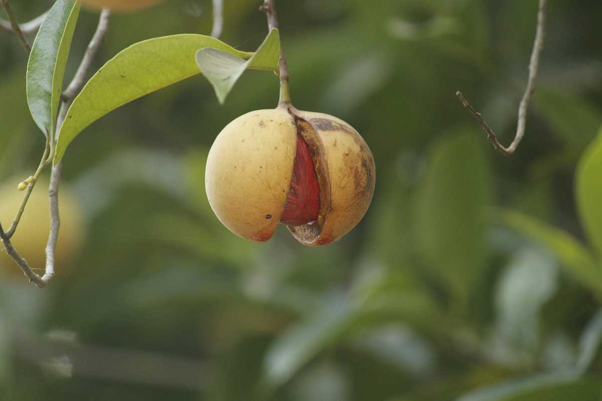 Grenada is the world's second-largest producer of nutmeg