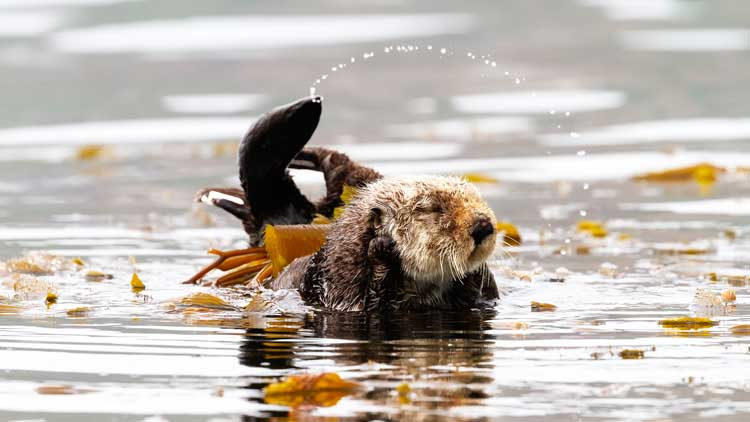 Playful otters along Avila Beach, California. Photo by Vince Shay Photography