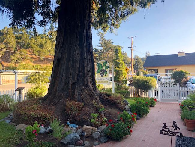 Giant Sequoia Redwood tree in front yard. Photo by Claudia Carbone