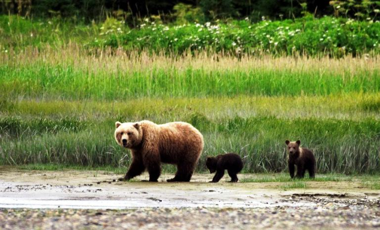 Mother bear with cubs is one of the prize photo ops in Alaska's Denali National Park. Photo by Denali National Park