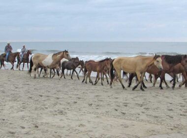 Chincoteague Island Ponies