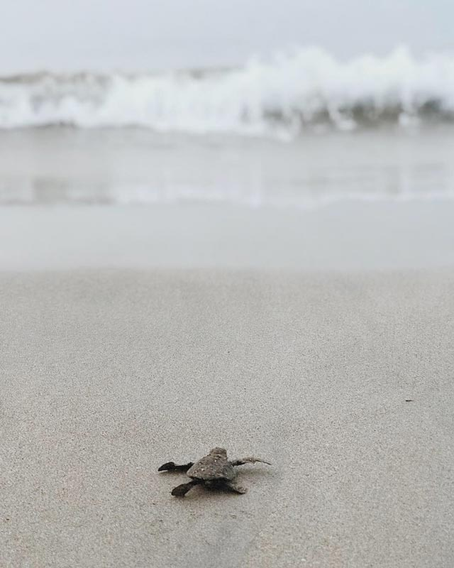 Turtle hatching on the beach