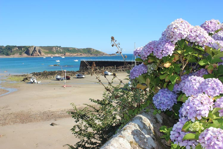 The famous hydrangea bushes that can be found all over the island of Jersey. Photo by Cleo Harratt