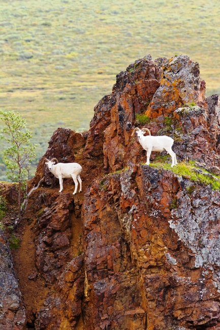 Dall Sheep preening on a mountainside is one of Denali's favorite offerings. Photo by Michael Young of Denali National Park