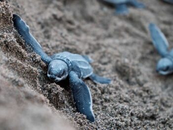 Baby sea turtles on São Tomé and Príncipe