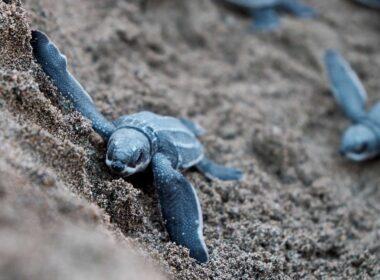 Baby sea turtles on São Tomé and Príncipe