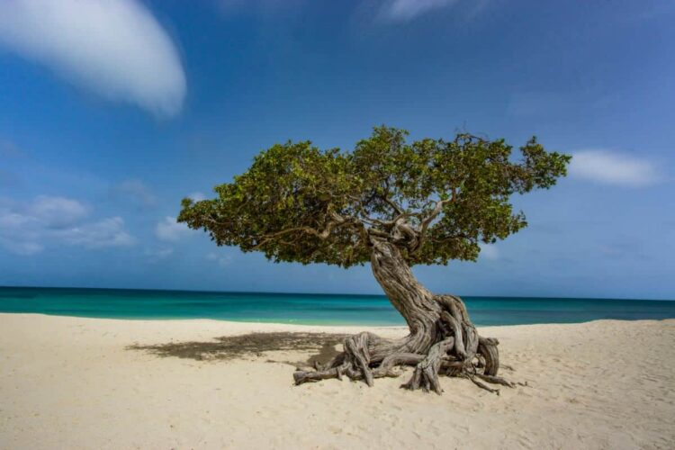 The trees in Aruba have a distinct shape because of the ocean winds.