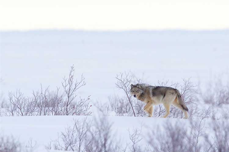 Arctic wolf, courtesy of Churchill Wild