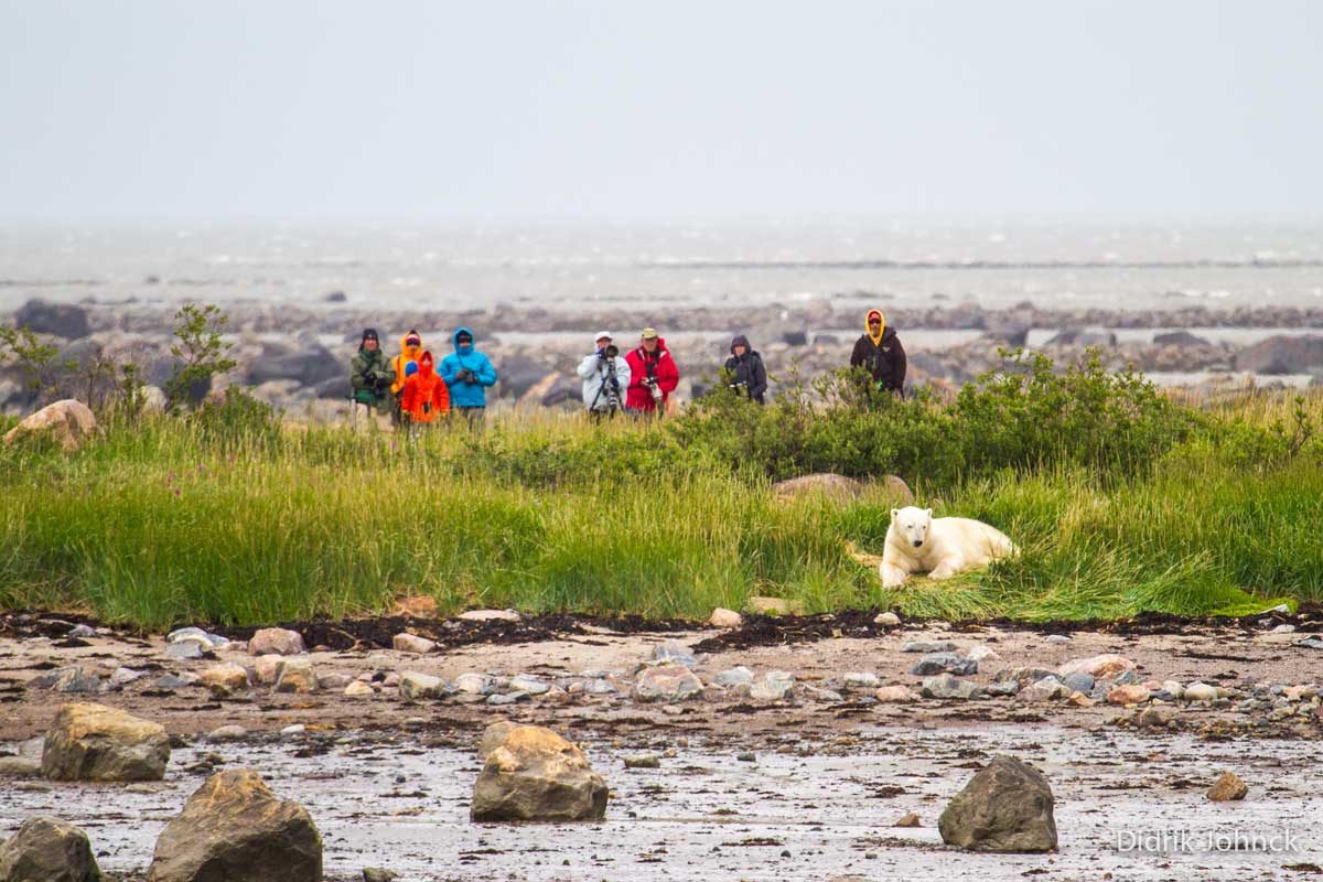 Guests view a polar bear in northern Manitoba with Churchill Wild.